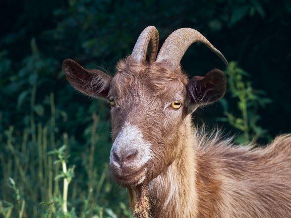 Venez rencontrer les chèvres de la Ferme du Cabri au Lait - Vacances accessibles en Centre-Val de Loire